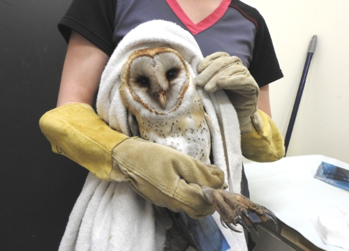 Wild ARC medical Emergency Barn Owl patient