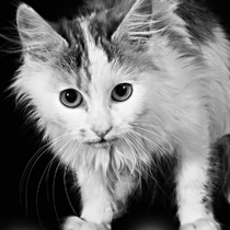 Sad scared kitten BW 210