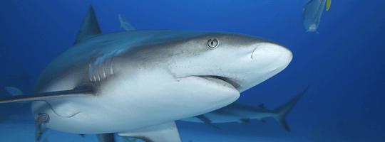 WildSense-Grey-Reef-Shark-carcharrhinus--100141001.png