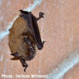 WildSense2_Darlene-Willment_Bat.png