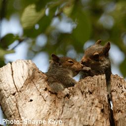 WildSense_WS2015_0308_Shayne-Kaye_gray-squirrel2.png