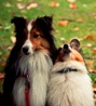 Sheltie Paws 2011 News